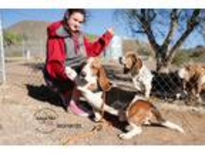 Adopt Leonardo a Tricolor (Tan/Brown & Black & White) Basset Hound / Mixed dog