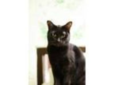 Adopt Chromie a All Black Domestic Shorthair / Domestic Shorthair / Mixed cat in