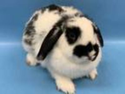 Adopt Louise a White Lop, Holland / Mixed rabbit in Woodbury, MN (26211919)