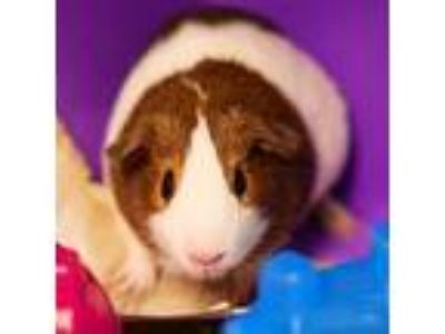 Adopt COFFEE a Black Guinea Pig / Mixed small animal in Las Vegas, NV (25907917)