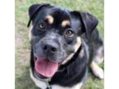 Adopt Roxy a Black Rottweiler / Mixed dog in Dallas, TX (25569284)