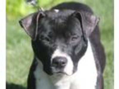 Adopt Libby a Pit Bull Terrier