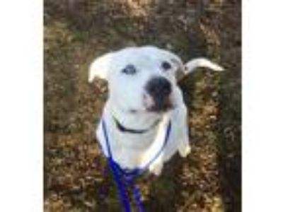 Adopt Rio in Henrico VA a White - with Brown or Chocolate Pit Bull Terrier /