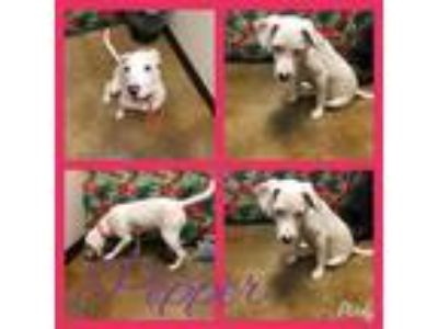 Adopt Pepper Lonestar a White - with Black Dalmatian / Terrier (Unknown Type