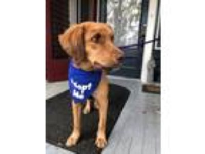 Adopt Sleigh a Tan/Yellow/Fawn Retriever (Unknown Type) / Mixed dog in