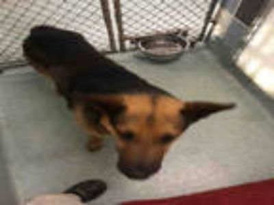 Adopt DALLAS a Brown/Chocolate - with Black German Shepherd Dog / Mixed dog in