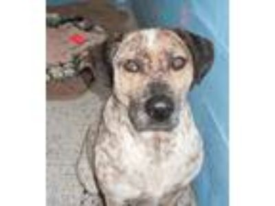 Adopt Bonzai a Australian Cattle Dog / Blue Heeler