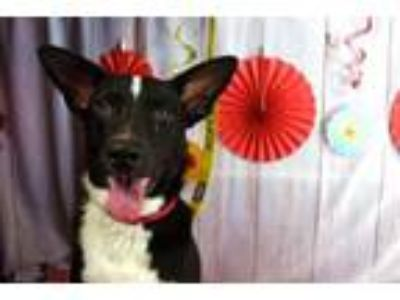 Adopt Oreo a Terrier, Cattle Dog