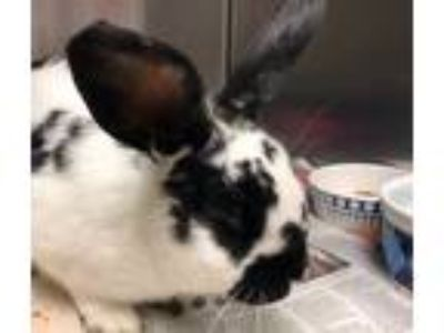 Adopt FETTY HOP a Black Other/Unknown / Mixed rabbit in Tacoma, WA (25363420)