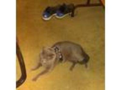 Adopt a Gray or Blue American Shorthair cat in Escondido, CA (25254702)