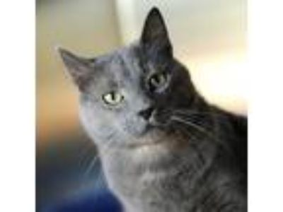 Adopt Wrinkles a Russian Blue, Domestic Short Hair