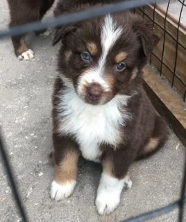 Australian Shepherd PUPPY FOR SALE ADN-107323 - AKC Australian Shepherd Puppies