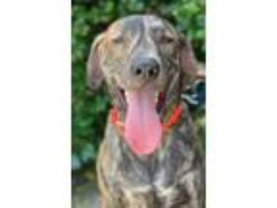 Adopt Fred a Brindle Boxer / Plott Hound / Mixed dog in Garland, TX (25900231)