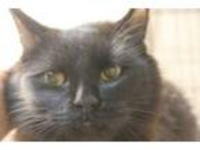 Adopt 42255915 a All Black Domestic Longhair / Domestic Shorthair / Mixed cat in