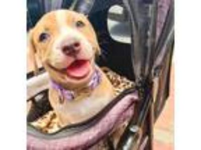 Adopt Tesla a Tan/Yellow/Fawn - with White American Staffordshire Terrier /