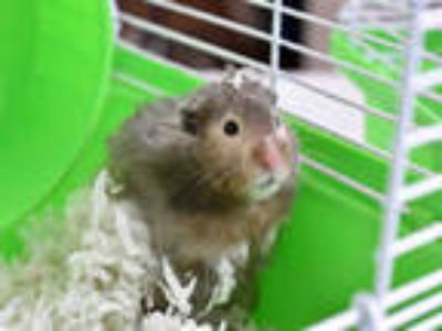 Adopt CLYDE a Brown or Chocolate Hamster / Mixed small animal in Ft Lauderdale