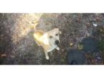 Adopt Lola a Tan/Yellow/Fawn - with White Labrador Retriever / Mixed dog in