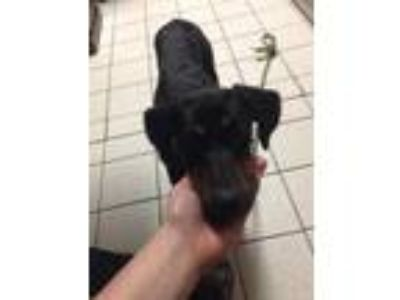 Adopt Sweetiekins a Black Doberman Pinscher / Mixed dog in Charleston