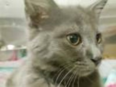 Adopt a Gray or Blue Domestic Longhair / Mixed (long coat) cat in Tavares