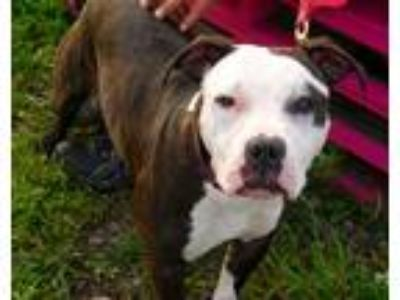 Adopt Natalia a Brindle - with White American Pit Bull Terrier / Mixed dog in