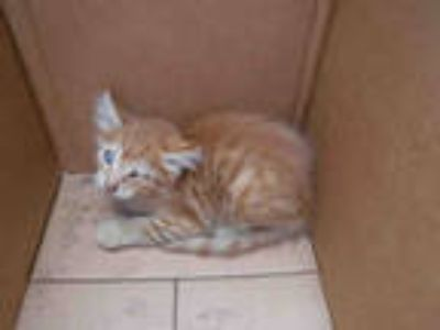 Adopt SONNY a Orange or Red (Mostly) Domestic Shorthair / Mixed (short coat) cat