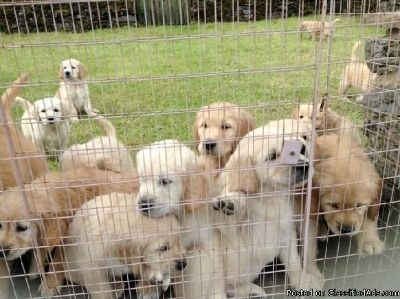 X-mass Healthy Golden retriever puppies available, Text me at (385) 218