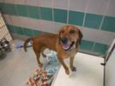 Adopt Gerald a Brown/Chocolate Hound (Unknown Type) / Mixed dog in Bardstown