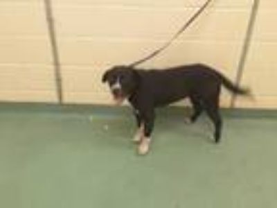 Adopt MAMA a Black - with White Mixed Breed (Medium) / Mixed dog in Memphis