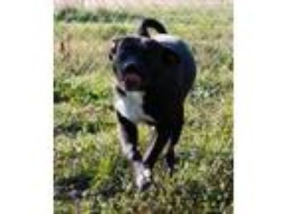 Adopt Apache($50) a Black Labrador Retriever / Mixed dog in Brownwood
