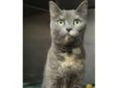 Adopt Ash a Domestic Short Hair