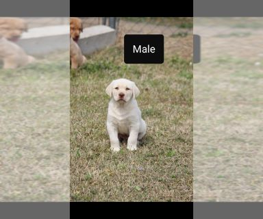 Labrador Retriever PUPPY FOR SALE ADN-127382 - Male Lab