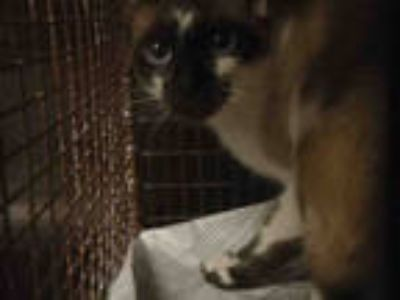 Adopt ARIA a Brown or Chocolate Siamese / Mixed (short coat) cat in Chatsworth