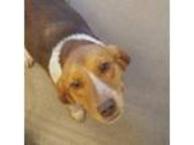 Adopt Ruby Red a Red/Golden/Orange/Chestnut Beagle / Labrador Retriever / Mixed