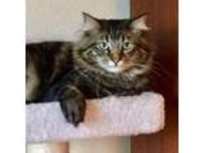 Adopt Bullseye [CP] a Brown Tabby Maine Coon / Mixed (long coat) cat in Oakland