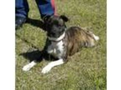 Adopt HOLLY a Brindle Shepherd (Unknown Type) / Mixed dog in Clinton