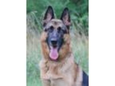 Adopt Rian a German Shepherd Dog