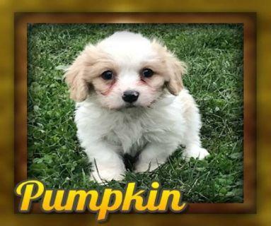 Pumpkin female Cavachon