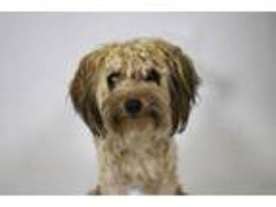 Adopt VANCE a Yorkshire Terrier, Mixed Breed