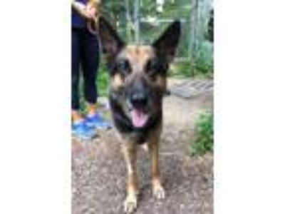 Adopt Israel Bailey a German Shepherd Dog