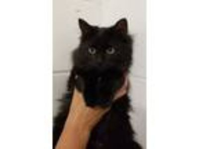 Adopt G Weezy a Domestic Long Hair