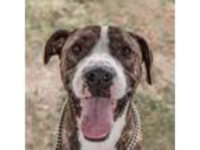 Adopt Jet a Brindle Treeing Walker Coonhound / American Pit Bull Terrier / Mixed