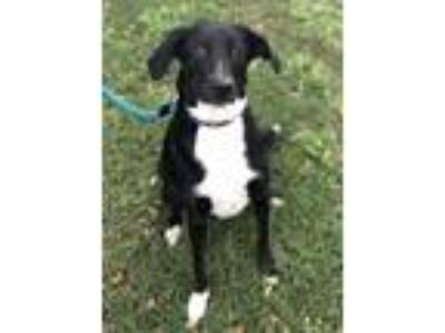 Adopt Hailey a Black - with White Labrador Retriever / Mixed dog in ROSENBERG