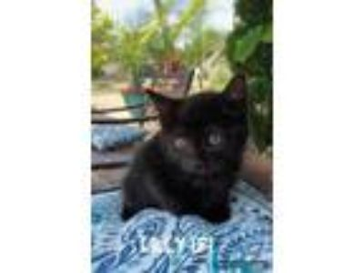 Adopt Lilly a All Black Domestic Shorthair / Domestic Shorthair / Mixed cat in