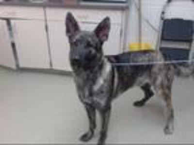 Adopt ICE T a German Shepherd Dog, Mixed Breed