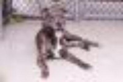 Gorsky Pit Bull Terrier Dog