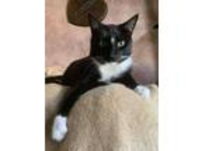 Adopt Van Gogh a Domestic Short Hair