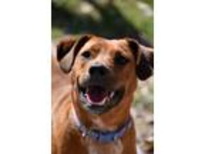 Adopt Chase a Brown/Chocolate - with White Blue Heeler / Mixed dog in