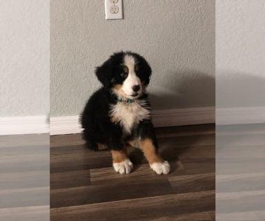 Bernese Mountain Dog PUPPY FOR SALE ADN-127142 - Bernese Mountain Dog puppy