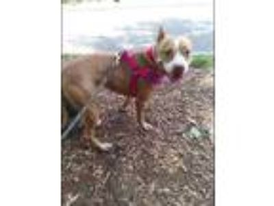 Adopt Fendi a Tan/Yellow/Fawn American Pit Bull Terrier / Mixed dog in Wantagh