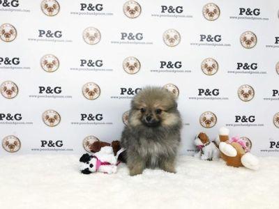 Pomeranian PUPPY FOR SALE ADN-70077 - Pomeranian  Emma